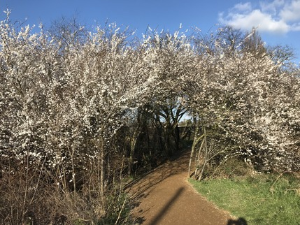 Blossoms at Craneford Fields